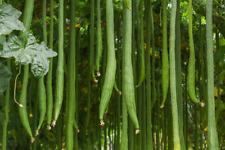 Asian Giant Luffa, Smooth Luffa, Turai, Sebot, Patola - Grows up to 1.5m Long!