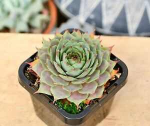 Sempervivum Lavender Doll Succulent Plant Grown in 7 cm Pot