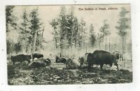 1906 Canada to New York Herd of Buffalo Forest Vintage RPPC Real Photo Postcard
