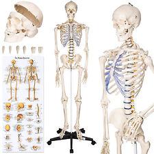 Human skeleton anatomical model Life Size 181cm medical + poster + bonnet new