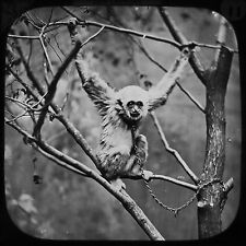 Glass Magic Lantern Slide A CHAINED GIBBON C1890 PHOTO ZOO LECTURE