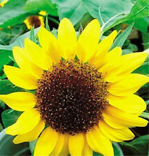 FD1551 1 Pack 20 Seeds Low Sunflower Helianthus Seed Flower Seed For Good Luck✿