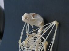 Véritable squelette de chauve souris Cynopterus sphinx 15 / 16 cm trophée chasse