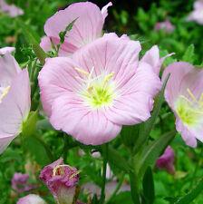 Fragrant Evening Primrose Seeds 30 Seeds Oenothera Biennis Odorata Flowers A222