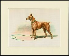 MINIATURE PINSCHER LOVELY LITTLE DOG PRINT MOUNTED READY TO FRAME