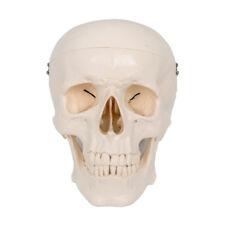 Human Head Skull Brain Anatomy Anatomical Model Medical Science Lab Learn