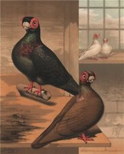PIGEONS. Black & Dun Barbs. Antique chromolithograph 1880 old print