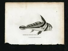 Shaw's General Zoology - Original 19th c.  Engraving - Knight Fish