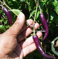 Purple Haze Chilli Pepper - An Amazing Looking Hot Purple Chilli - 10 Seeds!