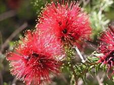 Goldfields Bottlebrush Seed  Adaptable Native Medium Shrub - Melaleuca coccinea