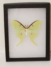 Real framed Luna Moth(M) from North America #1