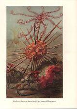Mittelmeer Haarstern (Antedon mediterranea) Lanzen Seeigel  Farbdruck 1953