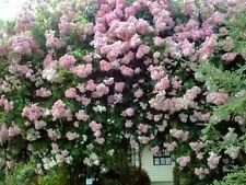 Pianta di Rose Rosa RAMPICANTE fiori rosa