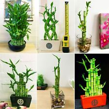 1 LUCKY BAMBOO RIBBON PLANT EVERGREEN INDOOR BONSAI IN CERAMIC POT FOR FENG SHUI