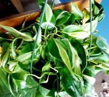 """Philodendron 'Silver Stripe' Full, Healthy, 8"""" Hb Actual Plant Avail Is In Pics"""