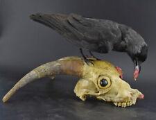 STUNNING JACKDAW STUFFED CROW BIRD MOUNT GOAT SKULL HORNS TAXIDERMY RUSTIC DECOR