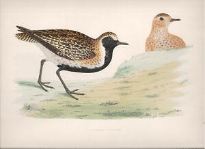 1855 Bird original print Golden Plower Beverley R. Morris