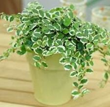 FROSTY FICUS Pumila indoor/outdoor climbing fig groundcover plant in 130mm pot