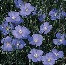 1/2- POUND  BLUE FLAX  54,400   FLOWER SEEDS  BULK   ANNUAL