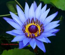 50+ Blue Lotus Nymphaea Nelumbo Asian Water Lily Flower Pond Seeds Usa Seller!