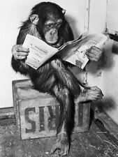 Chimpanzee Reading Newspaper Art Print - 24x32
