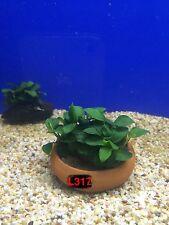 Anubias nana petite on bowl Live Aquatic Fresh Water Plant L317