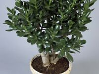 "15 Cm + Tall Jade Plant Money Tree Crassula Ovata ""Friendship Tree"" HousePlant"