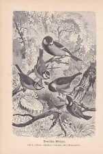 Meisen Paridae Tannenmeise Blaumeise Holzstich von 1890 Haubenmeise