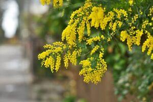 Acacia Golden Wattle Tree Seed fresh 50 seeds June  2021 crop