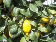 Aroma- & ätherische Öle für Atem-Wellness mit Zitronen