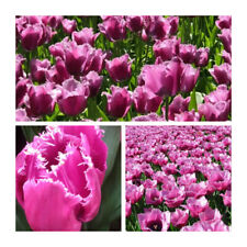Lot 84 Louvre Fringed Tulip x 50 Flower Bulbs.Pretty Pink Lilac Flowers.Bargain