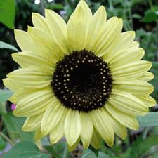 Sunflower Seeds Lemon Queen 500 Seeds Flower Seeds