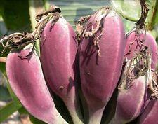 """Musa itinerans """"Birman Bleu' - The Blue Banana - 10 graines"""