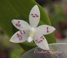 Orchidee Phalaenopsis tetraspis, Flowering Größe, einfach immer (11 SR)