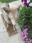 Life Like coyote taxidermy Full Body mount