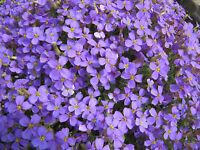 rockcress, PURPLE flower, perennial, 75 SEEDS! GroCo*