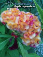 Strawberry Blonde Hybrid Cockscomb Celosia Seeds - Rare Heirloom + Bonus!