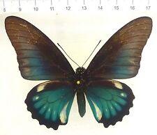 Battus Lycidas, rare bleue W, extrêmement rare au Costa Rica n531