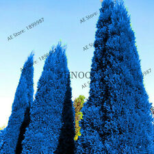 Recommend Arborvitae Cypress Seeds Plants Conifer Garden Blue 100pcs/bag