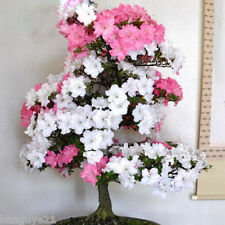 Seeds Sakura Japanese Cherry Blooms Flower Bonsai Pink and White Azalea  200Pcs