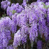 FD4203 Heirloom Purple Wisteria Tree Seeds Sinensis Chinese Wisteri Mauve 10PCs♫