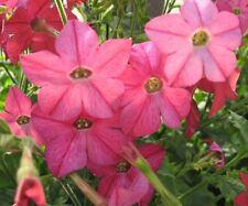 Nicotiana Seeds Perfume Bright Rose 50 Pelleted Seeds