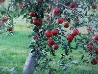8 Fresh Red Delicious Apple Tree Cuttings, Live trees, Great hobby!