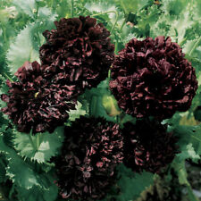 Black Peony Gothic double bloom  Poppy  annual 50+seeds