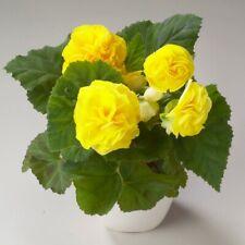 15 x Bégonia Illumination double mixte PLUG plantes nouvelle saison envoi gratuit