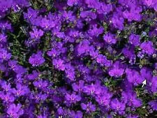 200 CRYSTAL PALACE Purple BLUE LOBELIA REGATTA Erinus Flower Seeds *Comb S/H
