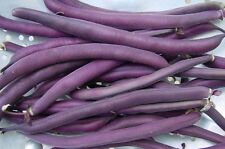 BEAN 'Royal Burgundy' 30 seeds