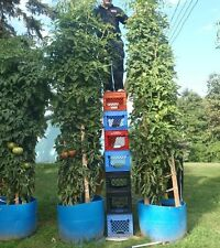 Bulk * 200 *Tomato Tree * Tallest * Largest * Heavy Yield * Easy Pickin !
