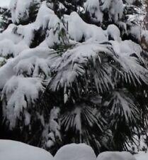 2 winterharte Mazari-Palmen schnellwüchsige exotische Pflanzen für den Garten