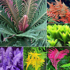 100 Fern Plant Seeds Asparagus Mixed Rare Colorful Herb Decor in Home Garden